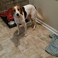 Hound (Unknown Type)/Foxhound Mix Dog for adoption in Sumter, South Carolina - Myrtle