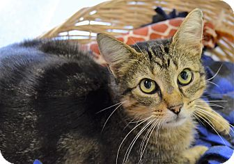 Domestic Shorthair Cat for adoption in Michigan City, Indiana - Bastian