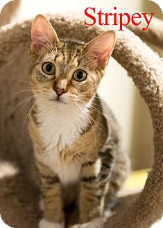 Domestic Shorthair Cat for adoption in Baltimore, Maryland - Stripey