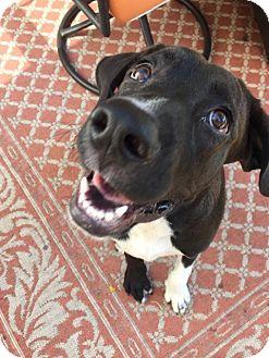 Labrador Retriever Mix Puppy for adoption in Allison Park, Pennsylvania - Arthur