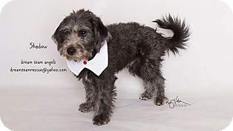 Miniature Schnauzer/Miniature Poodle Mix Puppy for adoption in Riverside, California - Shadow