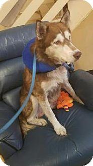 Husky Dog for adoption in New Smyrna Beach, Florida - Leo