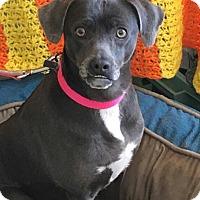 Adopt A Pet :: Penelope - Carlisle, PA