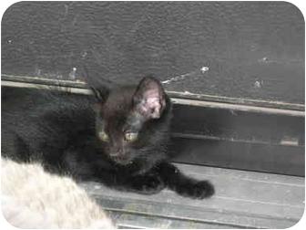 Siamese Kitten for adoption in Davis, California - Professor