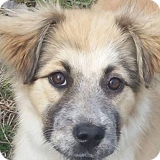 Collie Mix Puppy for adoption in Sagaponack, New York - Rusty