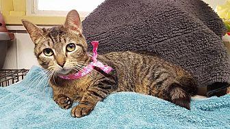 Domestic Shorthair Cat for adoption in Lexington, Missouri - Jane