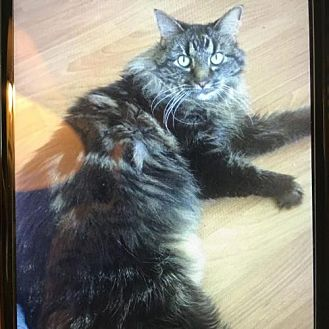 Maine Coon Cat for adoption in West Palm Beach, Florida - Misty