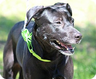 Labrador Retriever Mix Dog for adoption in Pawling, New York - Cara
