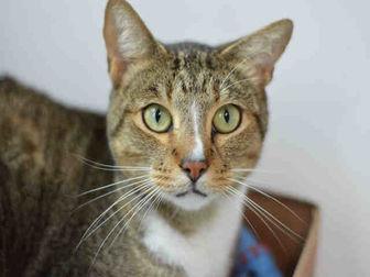 Domestic Shorthair Cat for adoption in Fort Lauderdale, Florida - RYAN