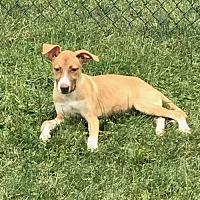 Adopt A Pet :: Heidi - Hillside, IL