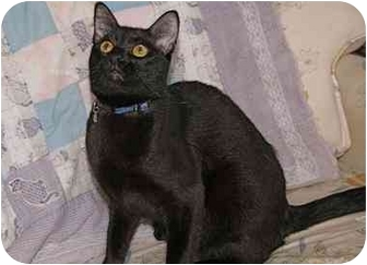 Domestic Shorthair Cat for adoption in Englewood, Florida - Dutch