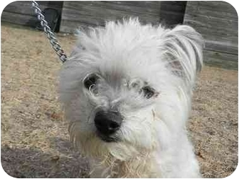 Skye Terrier/Poodle (Miniature) Mix Dog for adoption in Huntington, New York - Cassie