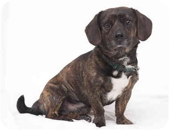 Dachshund/Pug Mix Dog for adoption in Westfield, New York - Petey
