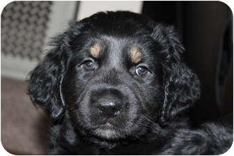 Labrador Retriever/Rottweiler Mix Puppy for adoption in Chilliwack, British Columbia - DAVE