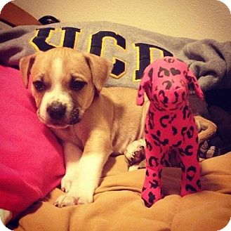 Boxer/Shepherd (Unknown Type) Mix Puppy for adoption in Sacramento, California - Noel, just a baby!