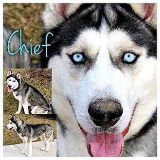 Husky Dog for adoption in Garden City, Michigan - Chief