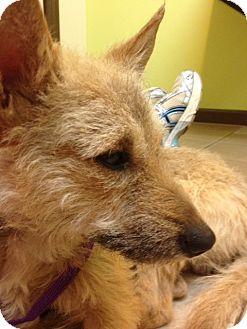 Wirehaired Fox Terrier/German Shepherd Dog Mix Dog for adoption in Roswell, Georgia - Finn