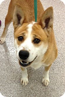 Basenji/Chow Chow Mix Dog for adoption in Gainesville, Florida - Luna