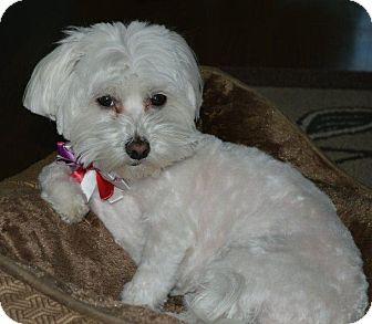 Maltese Dog for adoption in Irvine, California - SUSSIE
