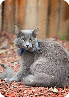 Burmese Kitten for adoption in San Antonio, Texas - Sheba