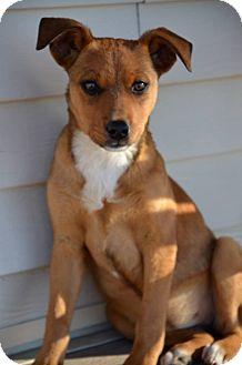 Australian Shepherd/Border Collie Mix Puppy for adoption in Westminster, Colorado - Jill