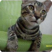 Domestic Shorthair Kitten for adoption in Houston, Texas - Toby