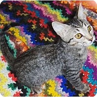 Adopt A Pet :: Lil Man - Chandler, AZ