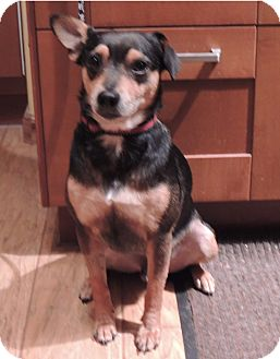 Miniature Pinscher/Rat Terrier Mix Dog for adoption in San Leandro, California - Scout