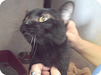 Domestic Shorthair Cat for adoption in Indianola, Iowa - Tripper