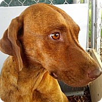 Vizsla/Redbone Coonhound Mix Dog for adoption in Orange Lake, Florida - Tara