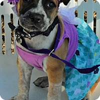Adopt A Pet :: Java - Redondo Beach, CA