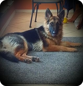 German Shepherd Dog Dog for adoption in Houston, Texas - Cashmere