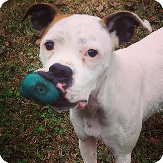 Boxer Mix Dog for adoption in Westminster, Maryland - Marilyn