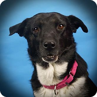 Border Collie Mix Dog for adoption in Columbia, Illinois - Dixie