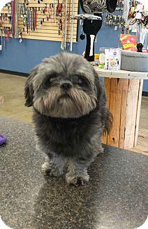 Shih Tzu Mix Dog for adoption in SHELBY TWP, Michigan - Monty