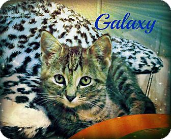 Domestic Shorthair Kitten for adoption in Defiance, Ohio - Galaxy