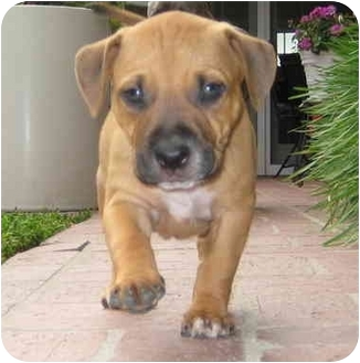 American Pit Bull Terrier/Boxer Mix Puppy for adoption in Corona del Mar, California - Molly