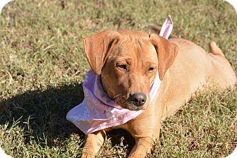 Labrador Retriever Mix Dog for adoption in Hatifeld, Pennsylvania - Sandi