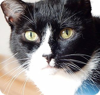 Domestic Shorthair Cat for adoption in Long Beach, New York - Roxy