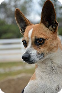 Chihuahua Mix Dog for adoption in Mountain Center, California - Wolfgang