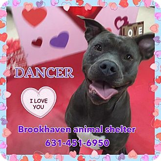 Terrier (Unknown Type, Medium) Mix Dog for adoption in Brookhaven, New York - Dancer