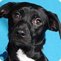 Adopt A Pet :: Meredith - Minneapolis, MN