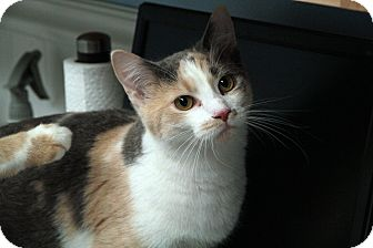 Domestic Shorthair Cat for adoption in St. Louis, Missouri - Isabelle
