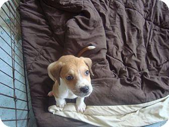 Shepherd (Unknown Type)/Treeing Walker Coonhound Mix Puppy for adoption in Old Bridge, New Jersey - Grover