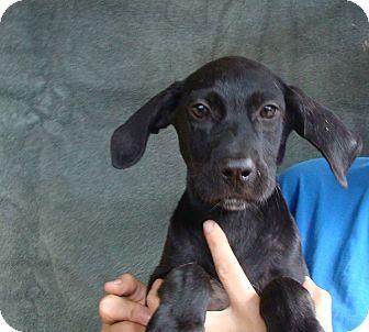 Labrador Retriever/Golden Retriever Mix Puppy for adoption in Oviedo, Florida - Ruby