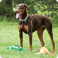 Adopt A Pet :: MALAYA - Greensboro, NC