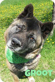 Akita Mix Dog for adoption in Menomonie, Wisconsin - Groot