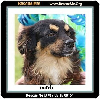 Papillon/Dachshund Mix Dog for adoption in Saddle Brook, New Jersey - Mitch