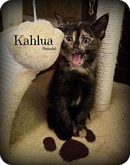 Domestic Shorthair Kitten for adoption in Glen Mills, Pennsylvania - Kahlua
