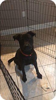 Labrador Retriever/German Shepherd Dog Mix Puppy for adoption in Lakeland, Florida - Hunter
